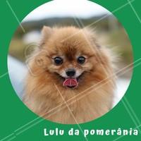 Essa raça também é chamada de Spitz Alemão Anão, é considerado um cachorro gracioso, inteligente e ativos. São cachorros muito inteligentes e aprendem fácil o que ensinam pra eles., é importante estimular o psicológico dessa raça, com brinquedos inteligentes e brincadeiras interessantes como esconder um objeto pra ele procurar. #luludapomerania #ahazou #splitzalemao