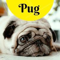 Você sabia que essa raça da carinha enrugada e fofa surgiu na antiga China? O pug é considerado um cão de companhia, sendo caracterizado por sua estatura pequena e suas rugas. É um companheiro inseparável, sociável e considerado uma das raças mais dóceis! Os cães dessa raça precisam de muitos cuidados específicos, como os olhos saltados e sensíveis, e as rugas do rosto que necessitam de limpeza. #pug #cachorro #ahazou #pets