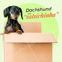 """Você sabia que o nome dessa raça apelidada de """"salsicha"""" pelo seu formato de corpo esticado, na verdade, é Dachshund? Essa mutação genética é chamada de hipocondroplasia, quando as extremidades do corpo são menores que o resto. É uma raça de cão corajoso, curioso e está sempre em busca de aventuras! Deve-se tomar cuidados com o sobrepeso, para não causar dores na coluna. #dachshund #ahazou #cachorro #salsichinha"""