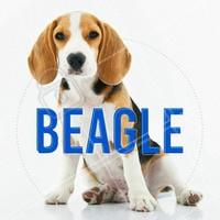 O Beagle é uma raça fiel aos seus instintos de caçador, o que pode ser um desafio para donos de primeira viagem educá-los! Mas adora crianças e se adapta bem em espaços pequenos como apartamentos. É uma raça com tendência a obesidade, então é preciso cuidado extra com sua alimentação. #cachorro #beagle #ahazou #raçasdecachorro #pets