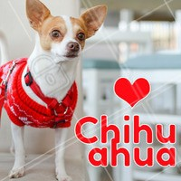 Você sabia que o Chihuahua é a menor raça de cachorro do mundo? Eles são encantadores pelo seu tamanho e olhar meigo e carinhoso. É conhecido por sua intensa devoção a uma única pessoa e por isso pode ser muito simpático com estranhos! #cachorro #Chihuahua #ahazou #raçasdecachorro #pets