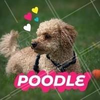O Poodle é conhecido por sua inteligência e obediência, combinando sua essência jovial com gosto por aventuras. Essa raça adora nadar, correr e caçar devido ao seu instinto de caçador! É excelente para crianças por ser energético e obedientes. #poodle #ahazou #cachorro #raçasdecachorro #pets