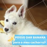 Em pequenas quantidades, a banana é sim um alimento que podemos dar para os nossos cachorros. Essa fruta ajuda no bom funcionamento do intestino, e é uma ótima fonte de energia. 🐶🍌 #dog #banana #ahazoupet #alimentacao
